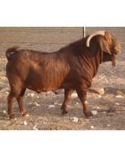 Pure breed kalahari  goat