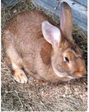 Modern rabbit for sale