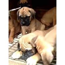 Bull Mastiff puppies for sale