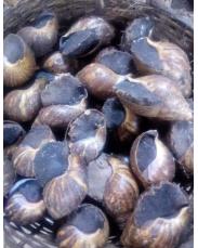 Snails farming