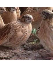 Quail birds available for sale.