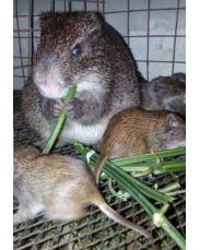 Grass cutter farming per colony