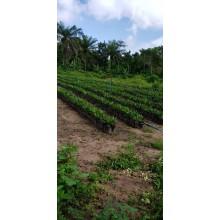 Hybrid Oil Palm Seedlings (Super Gene)