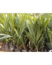 Oil Palm tenera seedlings