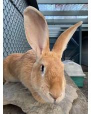 Flemish rabbit available for sale