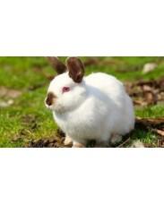 Flemish foreign rabbits