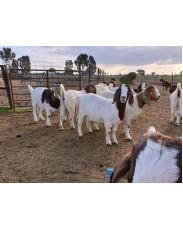 Boar Goats farming in nigeria