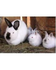 Giant Flemish rabbit available