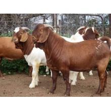 Pure breed Kalahari red goat