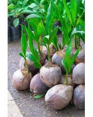 Hybrid dwarf coconut