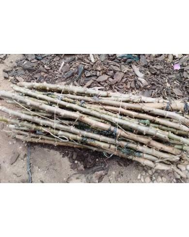 Cassava stem TME419