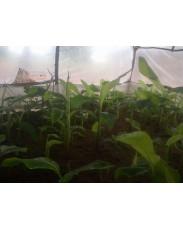 Hybrid Plantain Suckers