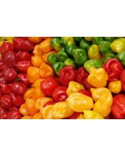 Habenero Pepper (Rodo)