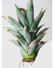 Pineapple Sucker