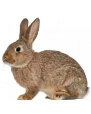 Healthy Rabbit Meat