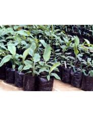 Plantain Nursery Raised Sucker