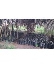 Hybrid Cocoa Seedling