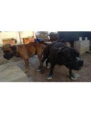 Thoroughbreds Boerboel Dog puppies (SABB appraised)