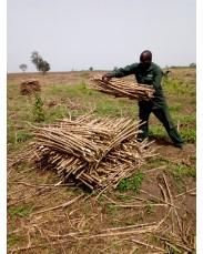 TME 419 Cassava Stem cuttings