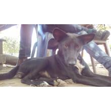 Black pregnant Dog for Sale