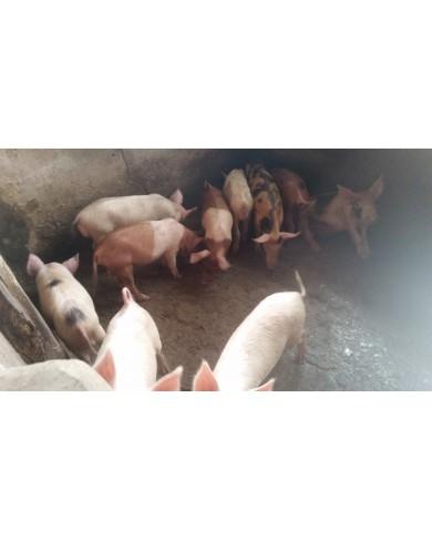 Live Pig/Pork