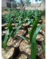 Super gene oil palm seedling