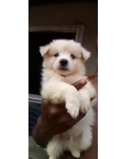 American Eskimo pet dog