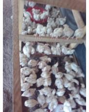 Broiler and cockerel chicken 8weeks old