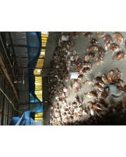 Point of lay Birds  (OT Farm)