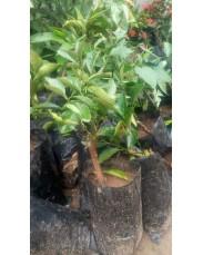 Budded sweet orange seedlings