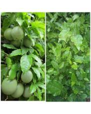 Passion fruit Seedling