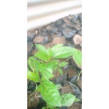 Passion Fruit Seedlings