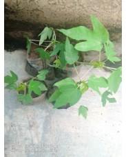Dwarf pawpaw seedlings