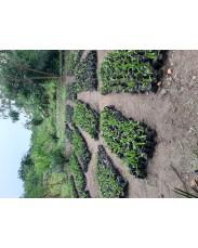 Supergene seeds and seedlings