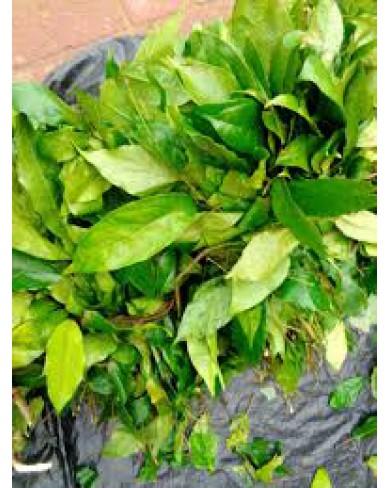 Ukazi Leaves