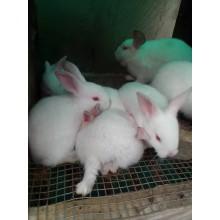 Hyla Rabbit